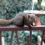 De eekhoorn de pallas. Foto: Zoogdievereniging, Ard van Roij.