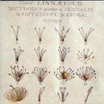 De 24 klassen van planten door Linnaues.