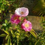 De egalantier. Een van nature veel voorkomende roos in Europa.