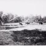 Koeien in het park.