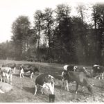 Koeien in het park rond 1900. Foto: Benjamin Wilhelmus Stomps.