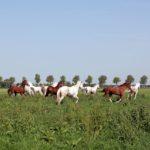 Weiland voor de Amsterdamse paarden In Andijk.