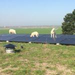 Schaapjes op het dak bij zonnepanelen.